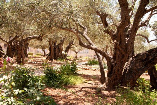 Israel, Jerusalem, Garden of Gethsemene, Religion, Student Travel, School Trip ©Noam Chen, ThinkIsrael.com