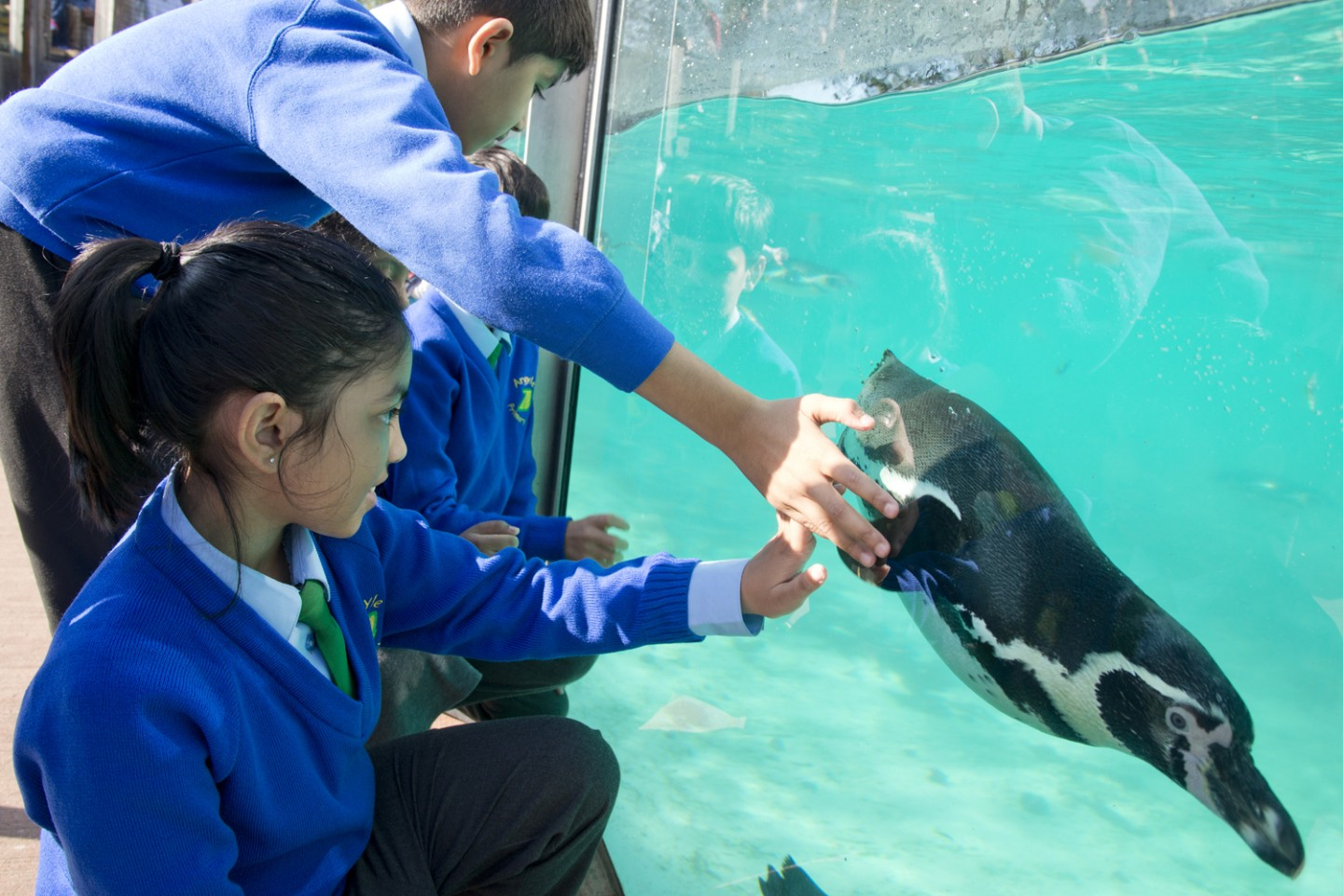 Science Pupils captivated as a penguin swims by at London Zoo ©ZSL